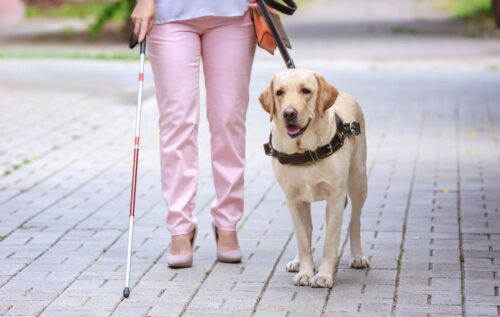 A lady waist down walking with a cane and her guide dog